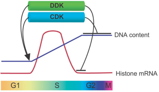 Cooperative roles of CDK and DDK in cell cycle progression from G1 to G2 phase. CDK and DDK promote G1-S phase transition and are required for proper S phase progression (arrows). In addition, these two kinases act in concert during G2 phase. CDK is required for prevention of chromosomal DNA re-replication, whereas DDK is essential to repress untimely histone gene expression, thereby helping ensure centromere integrity.