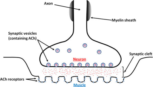 Illustration Of A Neuromuscular Junction Presented Are Open I