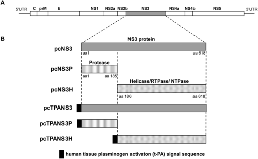 Schematic representation of the DENV2 genome (a) and the regions coded by the different recombinant plasmids (b): pcTPANS3, pcTPANS3P, pcTPANS3H, pcNS3, pcNS3P, pcNS3H.Boxes represent the NS3 region (gray areas), the protease domain (streaked areas) and the helicase/RTPase/NTPase (dotted areas) domain; black box symbolizes the signal peptide derived from the human tissue plasminogen activator (t-PA).