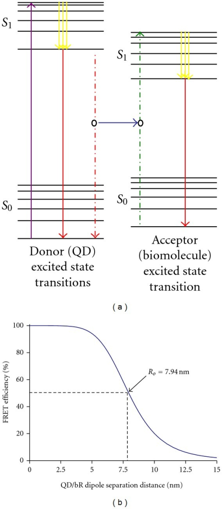 (a) Jablonski diagram showing FRET between a donor and an acceptor molecule. The purple arrow shows QD absorption, yellow arrow shows vibrational relaxation, and red solid arrow shows fluorescence. Solid blue arrow shows nonradiative energy transfer from the donor QD to acceptor biomolecule. (b) Theoretical FRET efficiency of a 565 nm emission QD (donor)-bR (acceptor) pair over a 0 nm–15 nm dipole separation range. The Förster radius of the QD-bR coupling system is calculated to be 7.94 nm.
