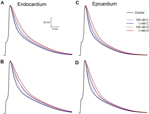 Comparison of action potentials from endocardium and epicardium at fast and slow pacing rates.Endocardium: A: 200 ms B: 2s. Epicardium: C: 200 ms D: 2 s. Control is solid black line. Drug O is red, drug C blue.
