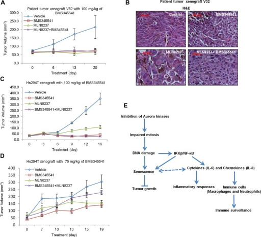 Combination of IKKβ/NF-κB inhibitor (BMS345541) and AURKA inhibitor (MLN8237) does not produce a synergistic inhibitory effect on tumour growthA. Patient tumour tissues (V32) were implanted subcutaneously into nude mice. After 1 week, tumour-bearing mice received daily oral doses of BMS-345541 (100 mg/kg) or MLN8237 (30 mg/kg) or both. Mean tumour volumes ± SEM are shown (n = 5).B. H&E staining of the V32 patient tumours from mice treated with vehicle, BMS345541, MLN8237, or both BMS345541 and MLN8237.C,D. Hs294T melanoma cells were injected subcutaneously into nude mice (2 × 106 cells per mouse). After 1 week, tumour-bearing mice received daily oral doses of BMS-345541 [100 mg/kg (C) or 75 mg/kg (D)] or MLN8237 (30 mg/kg) or 30 mg/kg MLN8237 combined with 100 mg/kg BMS345541 (C) or 75 mg/kg BMS345541 (D). Mean tumour volumes ± SEM are shown. (n = 5).E. Diagrammatic representation of the proposed model of MLN8237-induced senescence and senescence surveillance by immune cells.