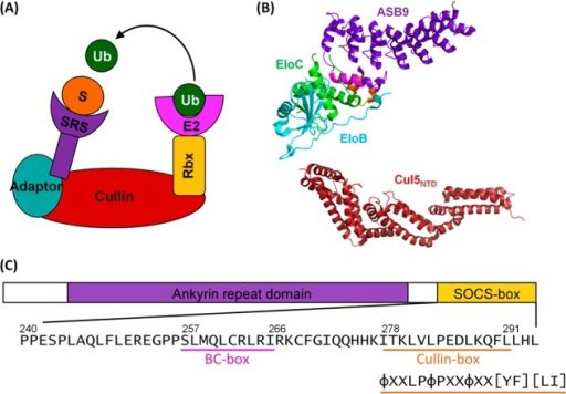 ASB9 is part of a Cullin-RINGE3 ubiquitin ligase complex. (A)Cartoon showing the assembly of Cullin-RING E3 ubiquitin ligases.ASB9 acts as a substrate recognition subunit (SRS) utilizing ElonginB and Elongin C as adaptor proteins to bind the Cullin N-terminaldomain. The Cullin C-terminal domain binds RING-box protein (Rbx)to bring the ubiquitin (Ub)-loaded E2 enzyme into close proximitywith substrate (S), allowing polyubiquitination to occur. (B) Crystalstructures of the ASB9–EloBC ternary complex (PDB 3ZKJ) and Cullin 5 N-terminaldomain (Cul5NTD, PDB 2WZK). ASB9 is shown in purple, EloC, in green,and EloB, in cyan. The ASB9 BC-box is shown in pink and the Cullin-boxin orange. Cul5NTD is shown in red. (C) Sequence schematicof ASB9 highlighting the C-terminal SOCS-box domain. The EloBC-bindingregion (BC-box) is underlined in pink, and the Cullin 5-binding boxunderlined in orange. The canonical Cullin 5-binding motif is shownunderneath and is also underlined in orange (φ is a hydrophobicresidue and X is any residue).