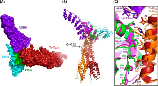Structural model of the quaternary complex ASB9–EloBC–Cul5NTD. The model was constructed using the crystal structureof FboxSkp2–Skp1–Cul1NTD as atemplate (PDB 1LDK).34 The Cul5NTD crystal structure(PDB 2WZK) wasaligned with Cul1NTD, and EloC of the ASB9–EloBCcrystal structure (PDB 3ZKJ) was aligned with Skp1 of the FboxSkp2–Skp1–Cul1NTD structure. ASB9 is shown in purple, EloC, in green, EloB,in cyan, Cul5NTD, in red, Cul1NTD, in orange,Skp1, in dark pink, and FboxSkp2, in light pink. (A) Surfacerepresentation of the ASB9–EloBC–Cul5NTD quaternarycomplex. (B) Structural alignment of ASB9–EloBC–Cul5NTD with FboxSkp2–Skp1–Cul1NTD showing the variation in the Cullin NTD orientations. The kink atCul1NTD residue Gly212 is labeled. (C) Close-up structuralalignment of ASB9–EloBC–Cul5NTD with FboxSkp2–Skp1–Cul1NTD showing the highstructural conservation at the interface between the adaptor protein(Skp1/EloC) and Cullin (Cul1/Cul5, respectively).