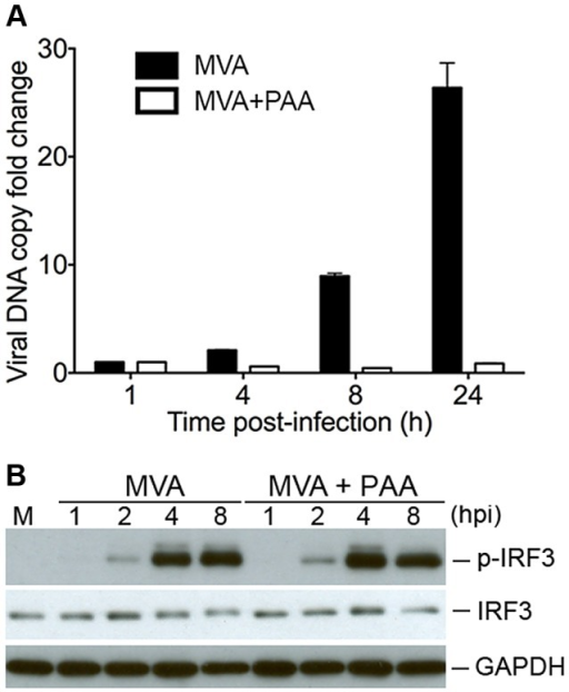Viral Dna Replication Is Not Required For Mva Induced I Open I