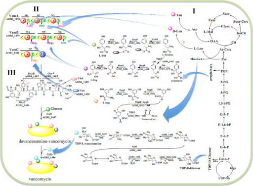 Metabolic pathway of vancomycin biosynthesis. Three steps are involved in the biosynthesis of vancomycin, and the related functional genes in and outside of the vcm cluster were mapped. I) The biosynthesis of its amino-acid precursors (right of the panel). Non-ribosomal peptide synthetase VcmD (AORI_1493) catalyzes free tyrosines to form tyrosyl-S-enzyme, which is hydroxylated by OxyD (AORI_1494) and then release as βHt by the action of Vhp (AORI_1492). Genes of pdh/hpgT/hmaS/hmO (AORI_1476, AORI_1491, AORI_1495-1496) are responsible for Hpg synthesis from prephenate, and dpgA/B/C/D (AORI_1502-AORI_1505) are responsible for Dpg synthesis using malonyl-CoA as the starting unit. II) The modified amino acids are assembled to form linear heptapeptide by NRPSs (VcmABC, AORI_1478-1480) with seven modules (M1-M7, upper left of the panel). A, adenylation domain; C, condensation domain; E, epimerization domain; T, thiolation domain; TE, thioesterase domain. III) The post-modifications of the linear heptapeptide (down the left side of the panel) include cyclization (oxyA/B/C, AORI_1482-AORI_1484), halogenation (vhal, AORI_1485), methylation (vmt, AORI_1490), and glycosylation (gtfDE, AORI_1486-AORI_1487). Finally, vancomycin is generated.
