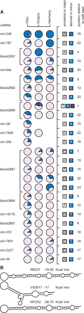 (A) SNP frequencies in mature miRs among populations of C. remanei. Most variants are found in a single population and at low frequency, with noticeable exceptions for instance for SNPs in mir-64a, mir-248, mir-787, block2892, and block3297. Columns represent separate populations and rows represent distinct SNPs. Each circle represents the frequencies of the ancestral or major allele (in purple) and the derived or minor allele (in blue). The different alleles and their position relative to the start of the mature miR are indicated in the right panels. Ancestral alleles identified by comparison with C. latens are marked with a thick line. SNPs located in a same miRNA are joined by a horizontal bar. (B) A 14-bp long deletion present in 22% of the population from Ontario removes the seed motif of the mature miR in miRNA block2890 and also alters the hairpin structure.