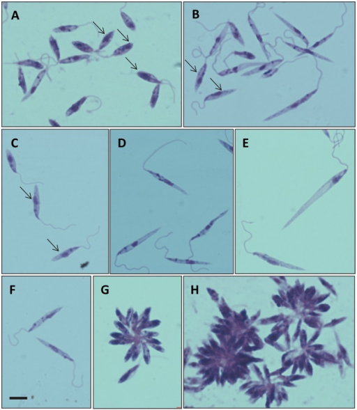 Giemsa-stained promastigote forms from culture.A–H, examples showing morphological variation of forms observed, all at the same magnification, bar in F represents 5 µm. Procyclic-like promastigotes can be observed in A (arrows);, leptomonad-like promastigotes in B and C (arrows); nectomonad-like promastigotes in D, E and F; and rosettes and aggregates in G and H.