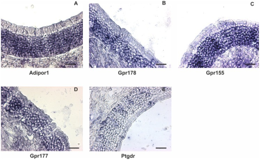 In situ hybridization for nGPCRs mRNA.A: Adipor1 (adiponectin receptor 1) B: Gpr178; C: Gpr155; D: Gpr177 (aka Wls); E: Ptgdr (prostaglandin D receptor). All transcripts were detected in the mature ORN cell layer as predicted by the expression levels observed in sorted ORNs. Scale bar = 30 µm.
