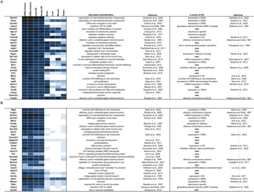 Expression patterns and ranking of genes coding for non-GPCR membrane proteins.A. Heatmap showing the ranking of the 30 most highly expressed genes in the FACS-sorted ORNs. B. Heatmap showing the ranking of the 30 most highly expressed genes that were specifically enriched in ORNs according to criteria that their FPKMs > 1 and their expression level in ORNs was at least 5x greater than that in non-olfactory tissue (brain, liver, muscle and testes).