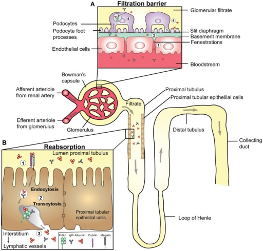 Transport Of IgG And Albumin In The Kidneys. A Schemati