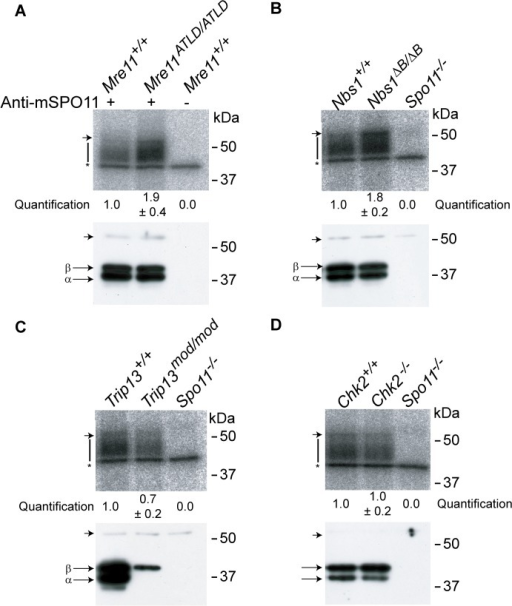 The MRE11 complex, but not TRIP13 or CHK2, modulates SPO11-oligonucleotide complex levels.SPO11-oligonucleotide complexes were immunoprecipitated from extracts of testes of the indicated genotypes, labelled with terminal transferase and 32P-nucleotide, and resolved by SDS-PAGE. Top image in each panel, autoradiograph; bottom image, SPO11 Western blot where the two major SPO11 isoforms, α and β, are indicated. The vertical lines next to the autoradiographs indicate the signal from SPO11-oligonucleotide complexes. Asterisk indicates non-specific signal from the labelling reaction. Short arrow designates the migration position of the heavy chain of the antibody used to immunoprecipitate SPO11. (A-B) Both Mre11 and Nbs1 mutants have increased levels of SPO11-oligonucleotide complexes compared to littermate controls (1.9 ± 0.4 fold, mean ± SD of the relative signal intensity compared to a wild-type control, n = 3 mice, and 1.8 ± 0.2 fold, n = 3, respectively). (C) SPO11-oligonucleotide complex levels are slightly reduced in Trip13mod/mod samples (0.7 ± 0.2, n = 3), similar to other recombination-deficient mutants, such as Dmc1–/– [27]. The SPO11α isoform is not detected in Trip13mod/mod testes as observed in other mutants that arrest at pachynema [27]. (D) Chk2−/− testes have similar levels of SPO11-oligonucleotide complex as controls (1.0 ± 0.2 fold, n = 3).