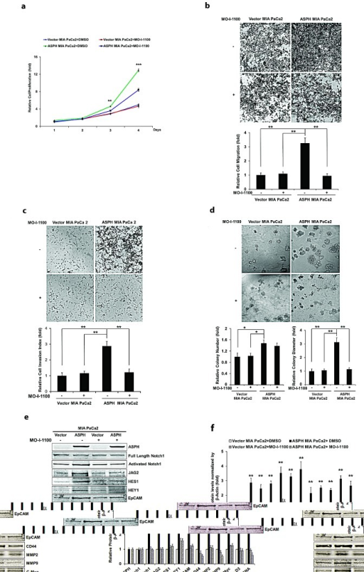 "Effect of SMI MO-I-1100 on the PC phenotype induced by exogenous or endogenous high-level of WT-ASPH expressionMIA PaCa2 cells stably transfected with empty vector or the ""wild type"" ASPH construct via lentiviral transfection depicted in Fig. 2. The inhibitory effects of MO-I-1100 on (a) proliferation, (b) migration, (c) invasion, and (d) colony formation of MIA PaCa2 cells were observed. There is a significant reduction in the expression of Notch1 ICN, JAG2, as well as downstream responsive genes HES1, HEY1, EpCAM, CD44, c-Myc, MMP2/9, cyclin D3 and PCNA induced by MO-I-1100 compared to the DMSO treatment (e and f). *p<0.05; **p<0.01; ***p<0.001."