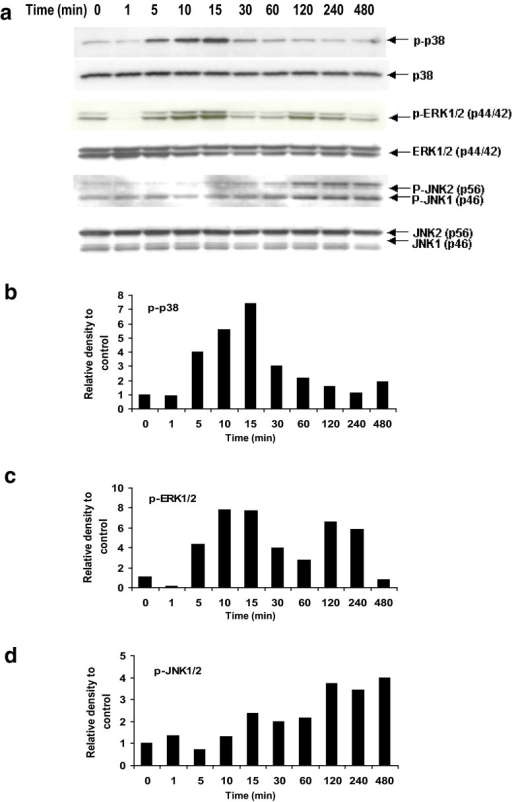 Propionibacterium acnes induces activation of multiple MAPK pathways in cultured human keratinocytes. a Western blots show time-dependent induction of phospho-p38 (p-p38), phospho-ERK1/2 (p-ERK1/2) and phospho-JNK1/2 (p-JNK1/2). b–d The density of each phosphorylated MAPK band was normalized to its loading control, and then compared to time 0. MAPK mitogen-activated protein kinase, ERK extracellular signal-related kinases, JNK c-Jun N-terminal kinases
