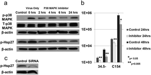 (a) Activated p38 MAPK (p-p38 MAPK) and Hsp27 (p-Hsp27) in GBM-XD456 cells (control) infected for 24 hours with ICP34.5- virus at 10 MOI. At time point 0 hours (virus infection only), a single dose of p38 MAPK inhibitor was added at 10μM. At 2, 4, 6 and 24hrs after the inhibitor was added, cells were infected with ICP34.5- virus for 24 hrs. (b) Virus recovery (mean + SD) in GBM-XD456 cells 24 and 48 hours post-infection with ICP34.5- or chimeric C154 virus in normoxia with (Inhibitor) and without (Control) a single 10μM dose of p38 MAPK inhibitor 24 hours prior to infection. (c) Activated Hsp27 (p-Hsp27) in GBM-XD456 cells 48 hour post-transfection with Hsp27 SiRNA or scrambled siRNA (control).