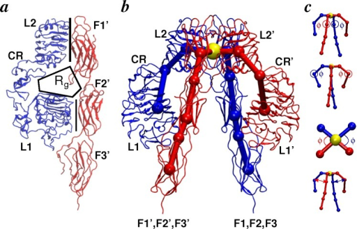 Conformational metrics of receptors. (a) Schematic illustration of a side view of the IR ectodomain. The binding pocket (indicated by Rg) is formed by the L1-CR-L2 motif of one subunit (blue) and the F1-F2-F3 motif of the other subunit (red). The L2-F1′ and L1-F2′ interfaces are indicated by vertical lines; line thickness indicates higher/lower buried surface area; (b) Overlay of mapping points on the crystallographic conformation of the IR ectodomain. Each subunit is conceptualized as a linear chain of eight mapping points (indicated by spheres) with an additional mapping point (yellow sphere) joining both subunits at the apex. Each mapping point corresponds to either the center-of-mass of a domain or an interdomain hinge; (c) Hinge angles (F1-F2, L1-L2 and L2-F1) are indicated (top), and the interhinge distances between the L1-L2 and F1-F2 hinge points are also shown (bottom).