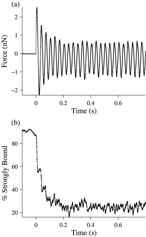 Simulation of a half-sarcomere experiencing a 30 Hz length oscillation.The simulation is described in detail in the text, and the parameters used are found in Table 1. (a) Force-response time-trace of the half-sarcomere. (b) Percent of strongly bound cross-bridges (i.e. in one of the attached states) as a function of time.