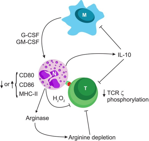Neutrophils (N) cross-talk with other immune cells and are receptive ofvarious innate or adaptive immunity system stimuli. This figure illustrates anexample of the numerous possibilities for reciprocal regulation. Macrophages (M),along with many other cytokines, produce granulocyte colony-stimulating factor(G-CSF) and granulocyte-macrophage colony-stimulating factor (GM-CSF), which canin turn induce production of cytokines such as interleukin (IL)-10 by neutrophils.Under different conditions, neutrophils can modify the extent of majorhistocompatibility complex (MHC) and costimulatory molecule expression, producereactive oxygen species and nitric oxide synthase, or consume arginine leading toinhibition of the T-cell (T) response. TCR: T-cell receptor.