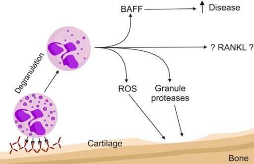 Neutrophils in autoimmune disease with rheumatoid arthritis as an example.Immunocomplexes activate neutrophils, which in turn release proteases damagingthe cartilage. Induction of oxidative bursts generates reactive oxygen species(ROS), which also directly damage the articular cartilage. In addition, B-cellactivating factor (BAFF) secretion activates B cells. Receptor activator ofnuclear factor kappa-B ligand (RANKL) production by neutrophils has been shownin mature peripheral neutrophils. In bone, preliminary data indicate that RANKLderived from neutrophils in the bone marrow might participate in bonemetabolism.
