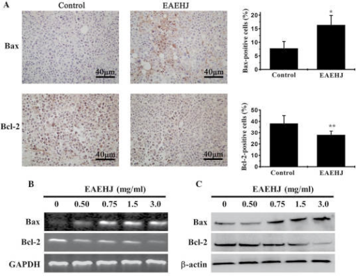 (A) Effects of Hypericum japonicum ethyl acetate extract (EAEHJ) on the expression levels of B-cell lymphoma 2 (Bcl-2) and Bcl-2-associated X protein (Bax) in a H22 cell-bearing liver cancer mouse model. At the end of the experiment, tumor tissue samples from the control and EAEHJ-treated groups were processed for immunohistochemical (IHC) staining in order to determine the expression levels of Bax and Bcl-2. Representative images were captured at a ×400 magnification. Quantification of the IHC assay was measured as the percentage of positively-stained cells. The data are presented as the mean ± standard deviation (n=8). *P<0.01, and **P<0.05, vs. the control. (B and C) Effects of EAEHJ on the expression levels of Bax and Bcl-2 in HepG2 human hepatoma cells. HepG2 human hepatoma cells were treated with various concentrations of EAEHJ for 24 h. (B) The mRNA expression levels of Bax and Bcl-2 in the EAEHJ-treated and untreated cells were determined by reverse transcription-polymerase chain reaction (RTq-PCR). (C) The protein expression levels of Bax and Bcl-2 were analyzed by western blotting. GAPDH and β-actin were used as internal controls for the RTq-PCR and western blotting assays, respectively. The data are representative of three independent experiments.