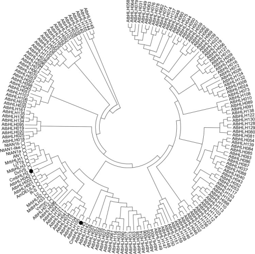 Phylogenetic analysis of 178 bHLH members including 162 from Arabidopsis, 14 from other plants, and 2 from chrysanthemum.The two bHLHs from chrysanthemum are marked with solid circles, while those related to anthocyanin biosynthesis regulation in Arabidopsis and other species are marked with open circles. Genes IDs are as follows: NtAn1b (Nicotiana tabacum, GenBank accession number AEE99258), NtAN1-like (N. tomentosiformis, AEE99260), NtAn1a (N. tabacum, AEE99257), AN1 (Petunia hybrid, AF260918), MrbHLH1 (Myrica rubra, JX629461), LjTT8 (Lotus japonicus, BAH28881), MdbHLH3 (Malus domestica, HM122458), DvIVS (Dahlia variabilis, AB601005), AmDELILA (Antirrhinum majus, AAA32663), R-S (Zea mays, X15806), L-c (Z. mays, NM001111869), MrbHLH2 (M. rubra, JX629462), MdbHLH33 (M. domestica, DQ266451), VvMYC (Vitis vinifera, EU447172).