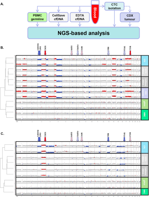A. Schematic showing procedure for processing of a single blood sample to give NGS analysis of cfDNA and CTCs. B & C. Unsupervised, hierarchical clustering of CNA profiles in two SCLC patients. CNA profiles were generated from isolated CTCs, EDTA cfDNA, CellSave cfDNA, two CDX tumours (A only), germline gDNA and isolated WBC. Matching patterns of gain (regions of red) and loss (regions of blue) were seen across all tumour material and were absent from germline controls. Arrows indicate location of common copy number aberrations found in SCLC with red indicating gain and blue loss. Dark filled arrows indicate loci altered in the patient sample.