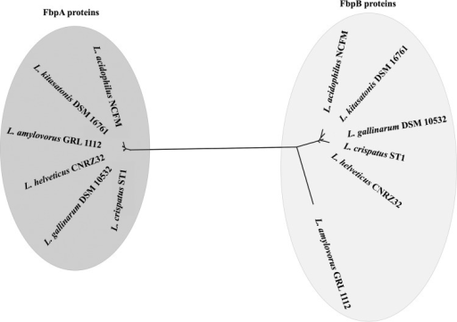Neighbor-joining phylogenetic tree based on fibronectin-binding proteins in L. acidophilus NCFM and other fbpB-containing lactobacilli. FbpA and FbpB protein sequences were aligned, and the phylogenetic tree was created in Geneious 8.1.7.