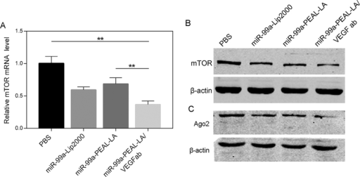 Relative mTOR mRNA (A), mTOR protein (B) and Ago2 protein (C) expression of HepG2 cells treated with PBS, miR-99a-Lip2000, miR-99a-PEAL-LA NPs or miR-99a-PEAL-LA/VEGFab NPs, which were determined by quantitative real-time PCR and western blot analysis. (n = 3), **p < 0.01.