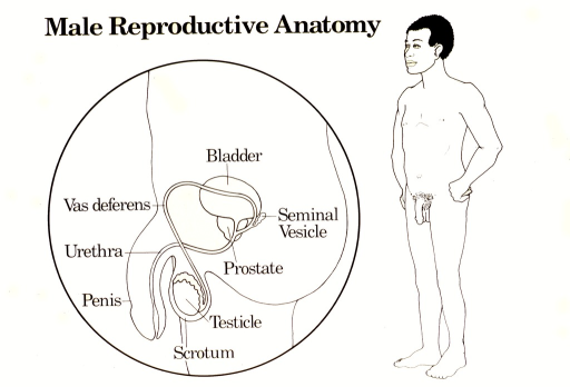 <p>White poster with black lettering.  Title at top of poster.  Visual images are line drawings.  One is a close up, side view of the penis, scrotum, and testicle, with details including the urethra, vas deferens, prostate, bladder, and seminal vesicle.  The other drawing is of a naked male, standing with hands on hips.</p>