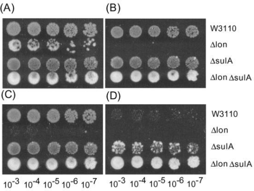 Susceptibility of E. coli Δlon and ΔsulA double mutant to LVFX. (A), (B), (C) and (D) show the results of spot testing with agar plates containing 0 μg/ml, 0.0125 μg/ml, 0.025 μg/ml and 0.05 μg/ml LVFX, respectively.
