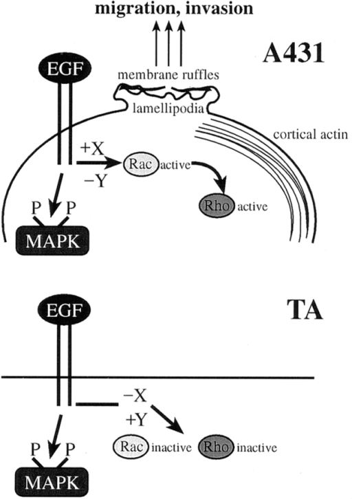 A schematic representation of TAM67 inhibition of EGF-induced cytoskeletal rearrangements. (Top)  EGF treatment of A431 cells  activates Rac and subsequently Rho. In turn, activated Rac and Rho regulate  the cytoskeletal rearrangements required for cell migration and hence invasion.  EGF-induced activation of  Rac and Rho requires the  function of upstream activators(s) X and possibly decreased function of inhibitor(s) Y. (Bottom) Expression  of TAM67 inhibits EGF-induced activation of Rac and Rho and thus blocks migration  and invasion. EGF fails to activate Rac and Rho in TA cells because expression of TAM67 suppresses the expression or activity of  activators (X) and possibly increases the activity of inhibitors (Y).