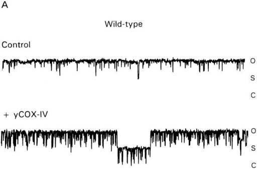 The conductance of MCC isolated from the tim23-1  mutant is not blocked by presequence peptides in the bath. Proteoliposomes were prepared from inner membranes from wildtype cells (A) or the tim23-1 mutant (B), and current traces of  MCC activity were recorded from patches in the presence and absence of 50 μM yCOX-IV1-13 peptide in the bath solution. (C)  The flicker rate (events/sec) from the open state to lower conductance states of MCC at 20 mV from wild-type and tim23-1 strains  was determined in the absence (control) and presence of 50 μM  of either yCOX-IV1-13 or fCOX-IV3-22. Error bars indicate standard deviations from a minimum of four determinations.