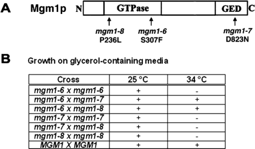 Intragenic complementation is observed between mgm1 temperature-sensitive mutants. (A) Schematic of MGM1 domain structure designating the position of the temperature-sensitive mutations analyzed for intragenic complementation is shown. (B) Analysis of intragenic complementation of mgm1ts alleles. Growth on glycerol is indicated by +.
