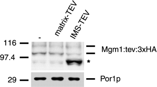 Mgm1p is in the IMS compartment in vivo. Mitochondria were isolated from strains expressing Mgm1:tev:3XHAp alone (lane 1), Mgm1:tev:3XHAp and ATP9-TEVp (lane 2), and Mgm1:tev:3XHAp and CYB2-TEVp (lane 3) and analyzed by SDS-PAGE followed by Western blotting with anti-HA and anti-porin antibodies, as a loading control. Asterisk indicates a TEV-specific Mgm1 cleavage product.