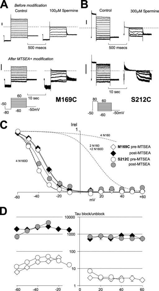 In situ introduction of positive charge at the bottom of, or below, the inner cavity slows spermine block kinetics. (A and B) Representative currents illustrating rectification induced by spermine in (A) M169C and (B) S212C mutant channels (mutation in second half of N160D-N160D dimer background), before and after complete modification by MTSEA+ (modification not shown). Current scale indicates 0.2 nA. Note changes of current and time scales, post-modification. (C) Steady-state current in spermine relative to control (Grel) plotted versus voltage, fitted with Boltzmann functions as indicated. (D) Time constant of spermine block/unblock obtained from single exponential fits to current relaxations (from experiments as in A). Block and unblock rates of both M169C and S212C channels are slowed ∼100-fold after modification.