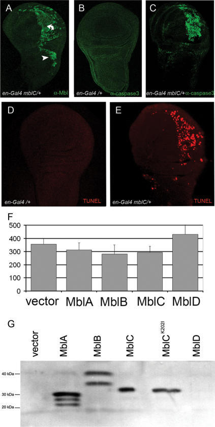 mblC overexpression activates apoptosis in vivo, but not significantly in cell culture.Confocal micrographs of third instar wing imaginal discs from en-Gal4 mblC/+ (A,C,E) and en-Gal4/+ controls (B,D) stained with an anti-Mbl (A), anti mammalian Caspase-3 antibody (B,C), or TUNEL assay (D,E). Wing imaginal discs of en-Gal4 UAS-mblC (C) flies show activation of executioner caspase-3 in cells over-expressing MblC (A) in the posterior compartment where the en-Gal4 driver is active. Despite the fact that MblC overexpression levels are similar in posterior pouch (A, bent arrow) and notum cells (A, arrowhead), caspase-3 is not detected activated in prospective notum cells (C). A TUNEL assay to detect DNA fragmentation that results from apoptosis signalling cascades reproduced the same pattern of apoptotic cells (D,E) detected by caspase-3 activation. (F) Bar graph representing the average number (from quadruplicates) of live cells 48 h after transfection of plasmids expressing the indicated Muscleblind protein isoforms. Overexpression of Muscleblind isoforms did not significantly reduce Drosophila S2 cell viability in cell culture conditions. Error bars are standard deviations. (G) Western blot of protein extracts from S2 cells transfected as in (F) with the indicated Muscleblind proteins and detected with an anti-Muscleblind antibody [47]. Lower molecular weight bands in lanes MblA and MblB are degradation products. MblD could not be detected by western blotting. Predicted molecular weights are: MblA, 22.65 kDa; MblB, 34.46 kDa; MblC 26.91 kDa.