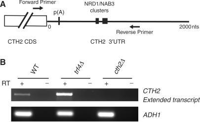 Extended Cth2 transcripts are detected in wild type and trf4 strains. (A) Locations of PCR primers for detection of 3′ extended CTH2 transcripts. (B) Some CTH2 mRNA is not cleaved co-transcriptionally. RT–PCR reactions were performed on RNA samples from wild-type, trf4Δ and cth2Δ strains with PCR primers located on either side of the CTH2 poly(A) site, and separated on an agarose gel.