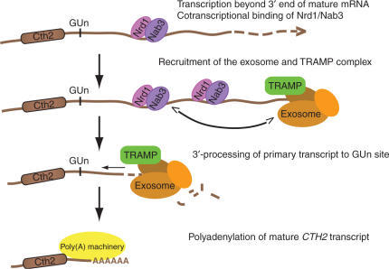 Figure 6: Mature Cth2 mRNA processing model. site does not occur.