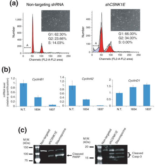 Knocking down CSNK1E induces G2/M cell cycle arrest and caspase-mediated apoptosis. (a) Two days after non-targeting shRNA or shCSNK1E treatment, HT1080 cells were fixed in methanol and stained with propidium iodide (Materials and methods). Flow cytometry of cells was performed on a FACSCalibur; calculation of cell cycle stages was performed using the cell cycle analysis program Modifit LT. Red area shows cell population in G1 or G2 cell cycle phase, while gray area shows dying cells. Label 'A' denotes apoptotic cell population. Insets show photographs of HT1080 cells treated with non-targeting shRNA or shCSNK1E. (b) Knocking down CSNK1E down-regulates CyclinB1 and CyclinA2. Cellular RNAs were prepared from HT1080 cells infected with either non-targeting shRNA (N.T.) or two different CSNK1E-targeting shRNAs (1834, 1837), and real-time PCR was performed with each gene-specific primer set. The expression levels of CyclinB1, CyclinA2 and CyclinD1 were first normalized to the level of an endogenous control (RPLPO), and then the relative expression level of each gene among the three cell lines was expressed as a ratio of transcripts in a cell line to those in non-targeted shRNA treated cells. Error bars indicate one standard deviation of triplicate data. (c) Knocking down CSNK1E induces caspase activation. Whole cell lysates from HT1080 cells infected with either non-targeting shRNA or shCSNK1E and cells treated with staurosporine were prepared. The cleavage of PARP1 or caspase-3 (Casp-3) in each sample was examined by western blotting using antibodies against PARP1 and cleaved caspase-3.