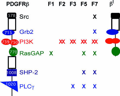 PDGFRβ Allelic SeriesThis figure depicts the mutant alleles generated in the mouse PDGFRβ genomic locus. X represents a mutation in the tyrosine-binding site(s) for a particular signal transduction molecule. The F7 allele contains a disruption in one SFK-binding site because loss of both sites results in diminished kinase activity (Mori et al. 1993). The truncation allele (βT) was created by deletion and subsequent frameshift that results in a stop codon 32 amino acids past the RasGAP-binding site.