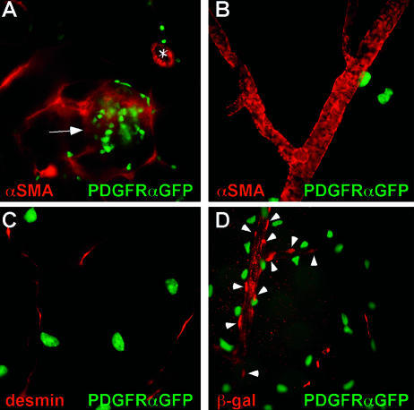 Tissue Localization of V/P Cell Markers and PDGFRα ExpressionTissue preparations from P21 PDGFRαGFP/+;PDGFRβF5/F5 mutant mouse. Immunofluorescence was used to detect αSMA (A and B), desmin (C), β-galactosidase (D), and GFP expression for PDGFRα (A–D). (A) Kidney (200 μm vibratome section). The arrow indicates glomerulus. The asterisk indicates an arteriole. (B–D) Retina (whole-mount preparation). Arrowheads point to β-galactosidase-positive nuclei.
