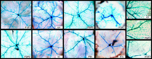 V/P Populations in P28 RetinasWhole-mount retinal preparations from wild-type and mutant eyes. Pigmented epithelium was removed for visualization of β-galactosidase. Note F7/F7 and F7/− had extensive thickening of the retinal layers that resulted in a contraction of the entire retina and apparent reduction in size. The far right panel shows a close-up of the artery and vein of three homozygous eyes.