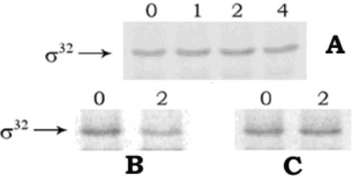 Stability of sigma-32 in E. coli MPh42 cells. Pulse-chase and immunoprecipitation experiment was performed using 100 μCi/ml 35S-methionine and anti-sigma-32 antibody, as described in 'Methods'. Panel A: cells grown at 30°C in the presence of CCCP, panel B: control cells at 30°C, and panel C: cells submitted to 50°C. The numbers in the lanes signify the time of chasing in minutes.