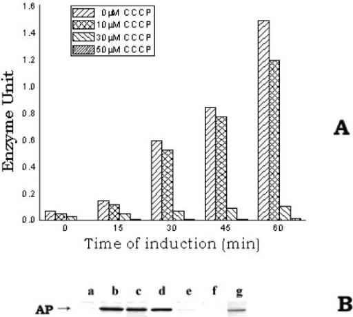 A. Level of active AP in E. coli MPh42 cells grown in the presence of different concentrations of CCCP. Cells were initially grown to log phase (~1.5 × 108 cells/ml) at 30°C in complete MOPS medium and were then transferred to phosphate-less MOPS medium. The re-suspended cells were divided in different parts to treat with the different concentrations of CCCP (0, 10, 30 and 50 μM). The divided cell cultures were then allowed to grow further at 30°C for induction of AP. At different intervals of time, a 1.0 ml cell aliquot was withdrawn from each culture to assay the active AP level. B. Western blot of the different fractions (periplasmic, cytoplasmic and membrane) of E. coli MPh42 cells grown in the presence of CCCP (50 μM). After allowing induction of AP for 30 min, the periplasmic, cytoplasmic and membrane fractions were isolated from equal number of each of the CCCP-treated and the control cells and the western blotting experiment was subsequently performed using anti-AP antibody. Lanes (a, b, c) and (e, f, g) represent the membrane, periplasmic and cytoplasmic fractions of control and CCCP-treated cells respectively; lane d represents purified AP.