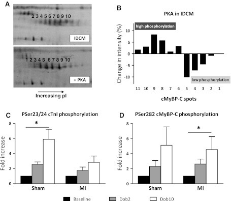 PKA-mediated cMyBP-C phosphorylation in vitro and in vivo. a 2D-gel analysis of cMYBP-C from IDCM myocardium before and after PKA treatment, showing an shift towards lower pI species, indicating increased phosphorylation. b Quantification of the changes in phosphorylation after PKA treatment. c, d Effect of high and low dose Dob administration (2 and 10 μg/kg/min; Dob2 and Dob10) on the phosphorylation of the PKA-specific Ser23/24 cTnI site (n = 5) and Ser282 cMyBP-C site (n = 6) in sham and post-MI remodeled myocardium from pigs. cTnI phosphorylation increased significantly in sham animals but this increase was attenuated in MI animals. cMyBP-C was not different between MI and sham animals. Figure adapted from Boontje et al. (2011) with permission from Elsevier. *P < 0.05, effect of Dob in a 1-way ANOVA