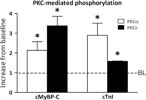 Phosphorylation of cTnI and cMyBP-C by protein kinase C. Phosphorylation of cMyBP-C and cTnI after incubation of failing tissue samples with PKCα (n = 5) or PKCε (n = 2). Phosphorylation was assessed by ProQ Diamond stained gels and normalized to total SYPRO-stained cMyBP-C. Both PKC isoforms increased phosphorylation of cMyBP-C and cTnI, albeit with different specificities. *P < 0.05 versus baseline. BL baseline. Figure adapted from (Kooij et al. 2010a) with permission