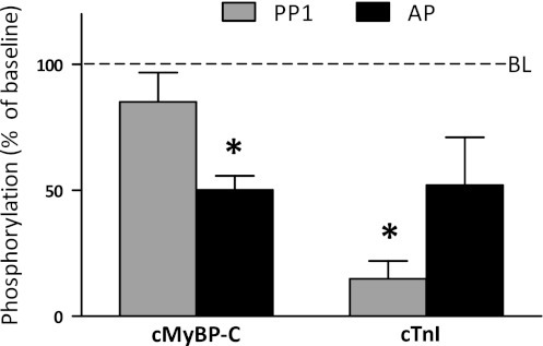 Dephosphorylation of cTnI and cMyBP-C by protein PP1 and AP. Incubations of skinned donor tissue with PP1 and AP were performed as described before (Zaremba et al. 2007). Briefly, human donor tissue (n = 3) was obtained during cardiac surgery and frozen and stored in liquid N2. Samples were homogenized in buffer containing 0.5% (v/v) Triton X-100. Samples were washed twice in buffer without Triton and 100 μl sample was subsequently incubated with 10 μl PP1 (catalytic subunit, Sigma) or 10 μl AP (calf intestinal; New England Biolabs). Phosphorylation was assessed by ProQ Diamond stained gels and normalized to total SYPRO-stained α-actinin. PP1 preferentially dephosphorylates cTnI, while AP also dephosphorylates cMyBP-C. *P<0.05 versus baseline. BL baseline