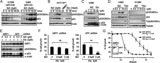 INZ induces acetylation of p53, but not tubulin, in cells, which is affected by knockdown of SIRT1A-D. Cells were treated with INZ, Etoposide or TSA as indicated. Total levels of p53 and acetylated p53 at lysine 382 were assessed by IB (70 µg of total proteins was used per lane; true to all panels in this figure).E. H460 cells were plated in 6-well plates 18 h prior to infection with SIRT1 shRNA or control GFP shRNA. To increase shRNA knockdown efficiency, cells were infected again 24 h later. At 24 h after second infection, cells were treated with Etoposide for 6 h followed by addition of INZ for 12 h.F-G. Cells infected with shGFP or shSIRT1 adenovirus in (E) were seeded at 3000 cells per well in 96-well culture plates and incubated overnight at 37C. Various concentrations of INZ (G) or INZ combined with 2 µM Etopside (F) were added into the plates. Cell growth inhibition was measured using WST cell growth assays. IC50 values are represented as mean ± standard deviation (n = 3). ** Indicates p < 0.01.