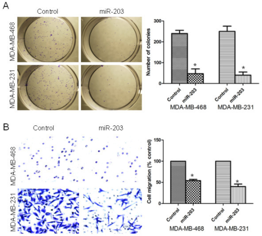 miR-203 inhibited proliferation and migration of TNBC cells. (A) The colony formation assay was used to measure cell proliferation capacity in MDA-MB-468 and MDA-MB-231 cells treated with control miRNA or miR-203 precursor. (B) A transwell migration assay was performed to detect the migratory capacity of MDA-MB-468 and MDA-MB-231 cells. *, P < 0.05.