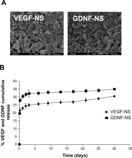 GDNF NS and VEGF NS characterization and in vitro toxicity study.Notes: (A) Scanning electron microscope (SEM) photomicrographs of GDNF NS and VEGF NS. (B) The in vitro VEGF NS and GDNF NS release profiles at 37°C in phosphate-buffered saline (pH 7.4). The results are represented as the mean ± standard deviation (n=3).Abbreviations: GDNF, glial cell line-derived neurotrophic factor; NS, nanospheres; VEGF, vascular endothelial growth factor.